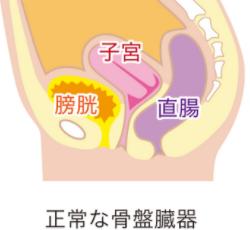 正常な骨盤臓器の図