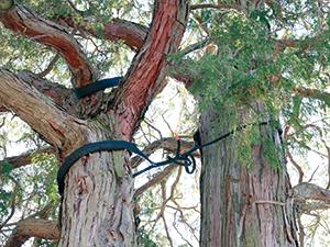 ケーブリング処置(黒いロープの部分)を施した樹木