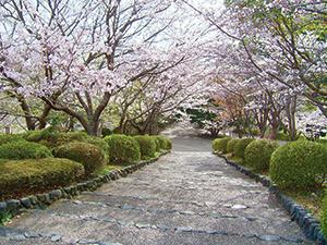 富士市・岩本山公園の桜並木