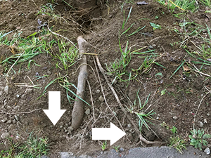 河津桜の根の調査