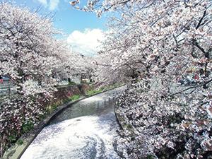 富士市・小潤井川沿いを彩るソメイヨシノ