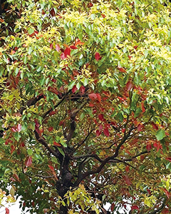 紅葉するクスノキ
