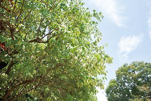 樹木も夏バテ