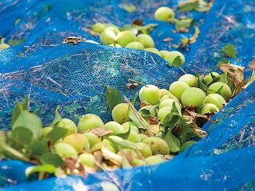 完熟した落ち梅と収穫用ネット
